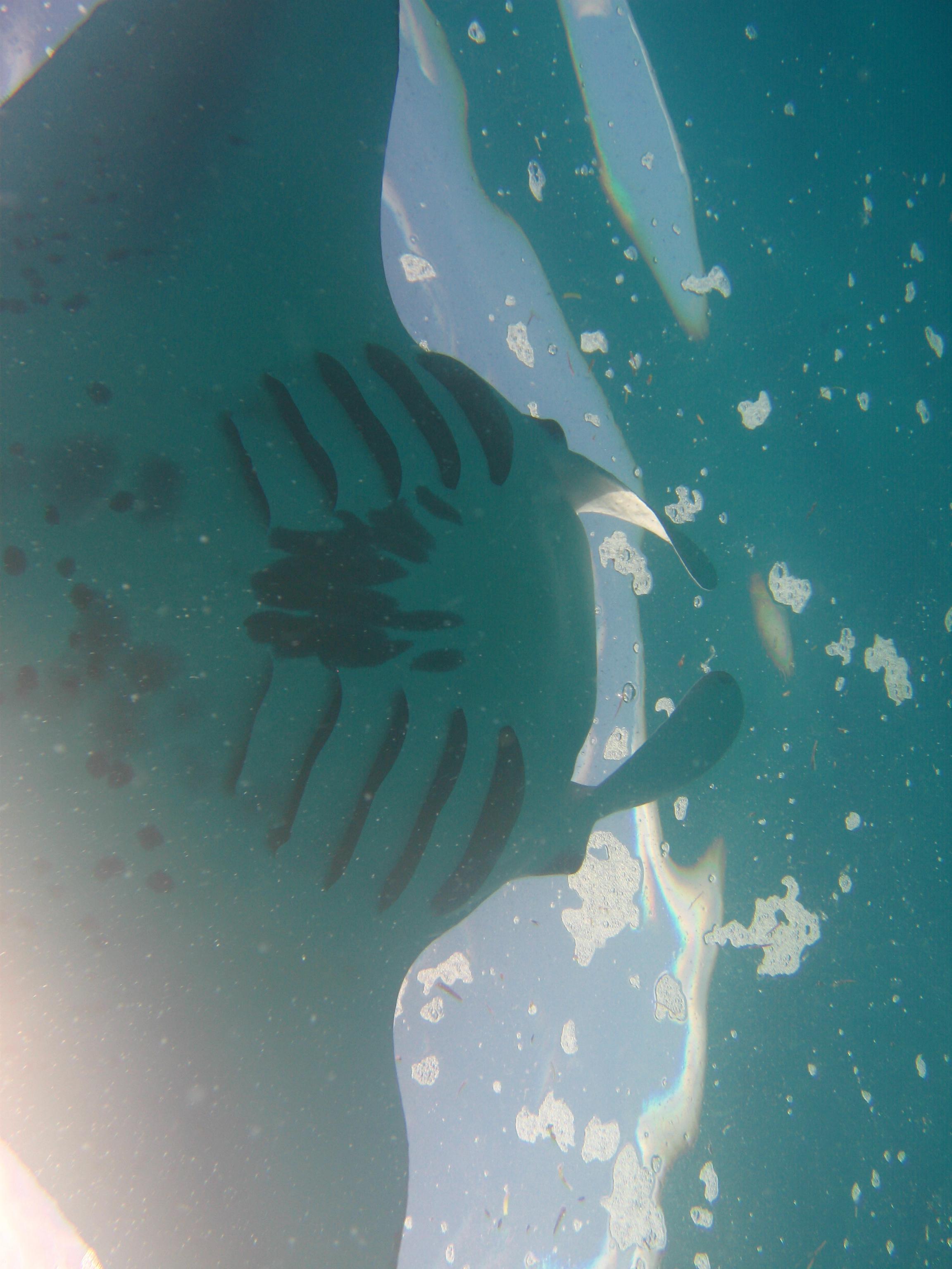 Manta Ray Markings Manta Rays   Underwater