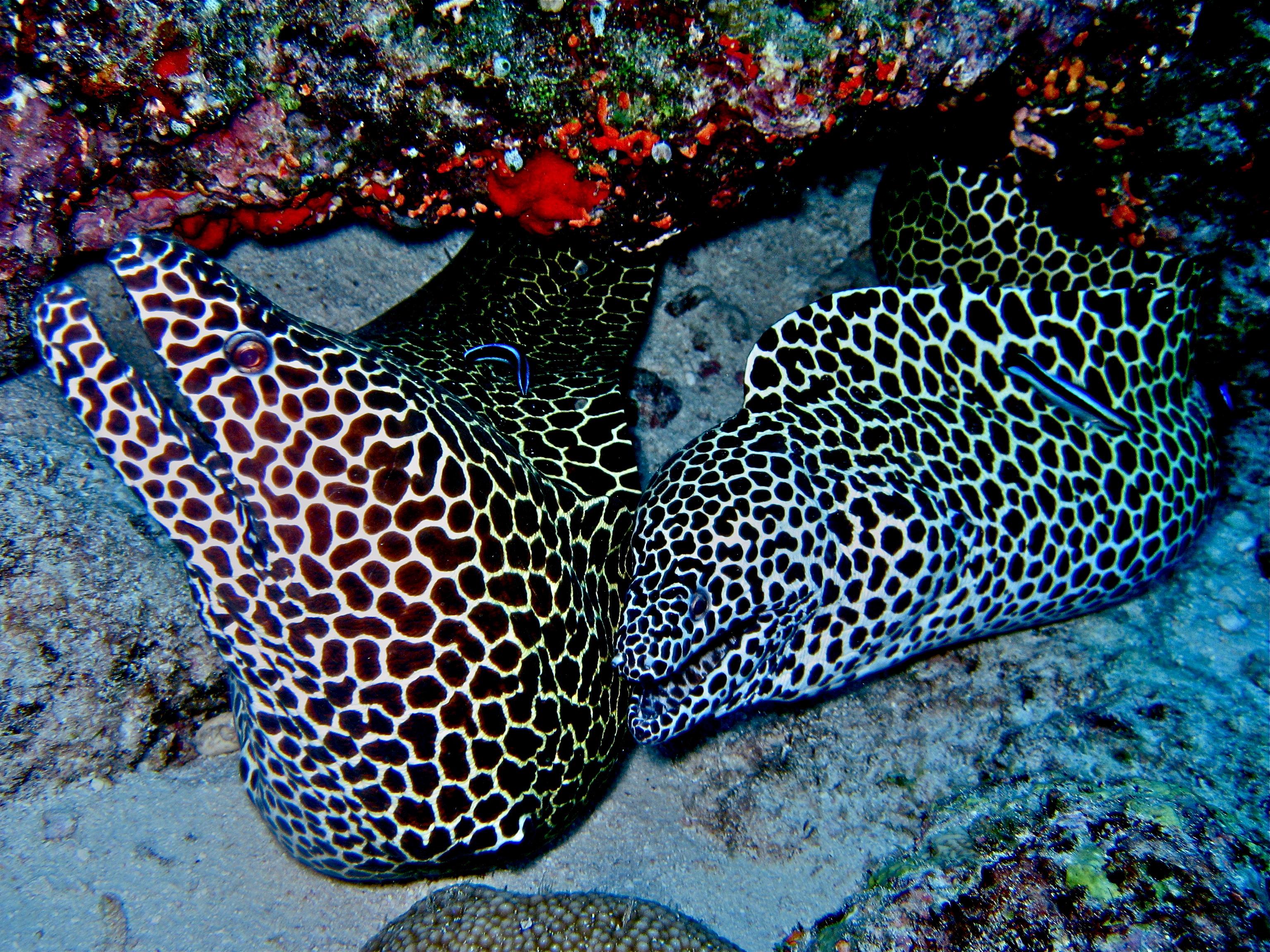 Moray Eel Size Moray Eels